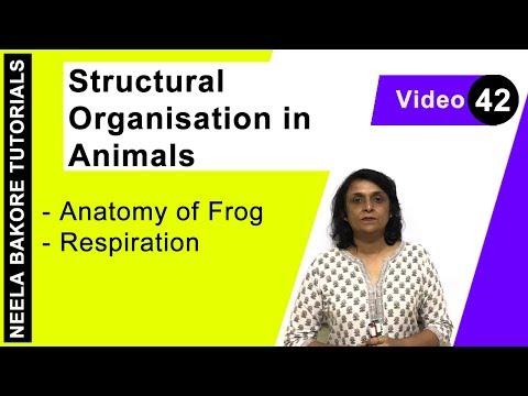 Structural Organisation In Animals - Anatomy Of Frog - Respiration