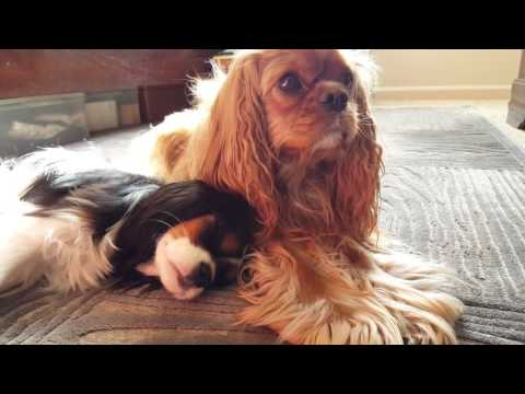 Dogs taking an afternoon nap in the sun - Cavalier King Charles Spaniel