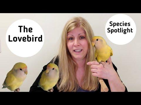 Lovebirds as Pets | Living with Lovebirds | Species Spotlight