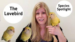 Lovebirds as Pets   Living with Lovebirds   Species Spotlight
