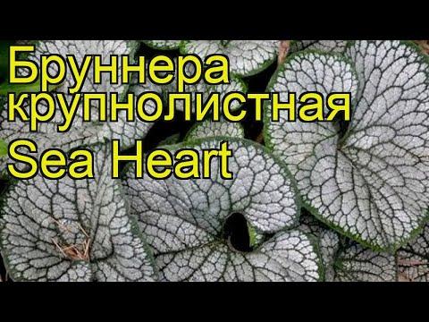 Бруннера крупнолистная Sea Heart. Краткий обзор, описание характеристик, где купить саженцы