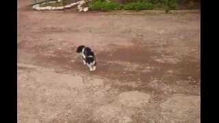 кошка нападает на собаку(реальное видео!)