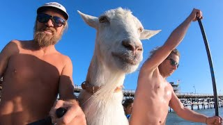 Surfing With A Goat
