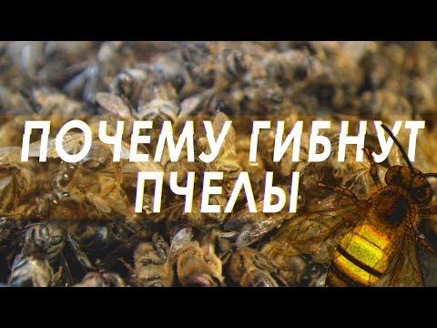 Смерть пчёл во всём мире. Почему происходит массовая гибель пчел?