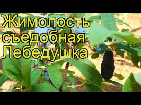 Жимолость съедобная Лебедушка. Краткий обзор, описание характеристик lonicera edulis Lebedushka