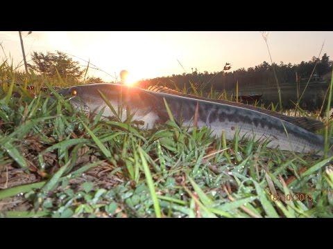 ตกปลาชะโดด้วยเหยื่อสด Live bait fishing