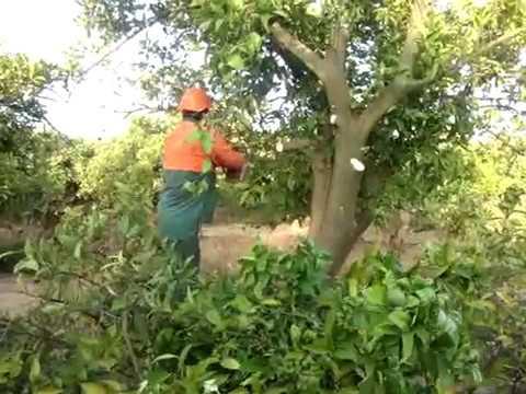 Poda de citricos segunda parte telf 607195910 cartaya - Poda de hortensias en maceta ...