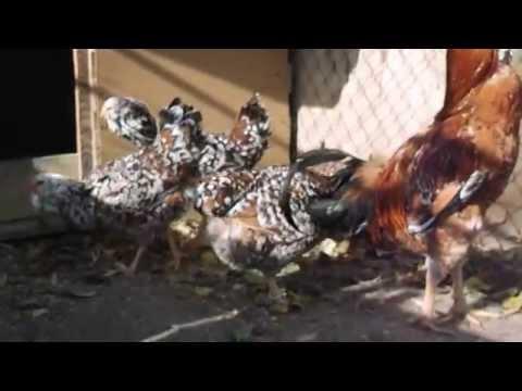 Орловская ситцевая порода кур !!!