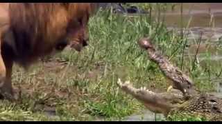 فيديو يظهر مواجهة بين اسد وتمساح على شاطئ النهر