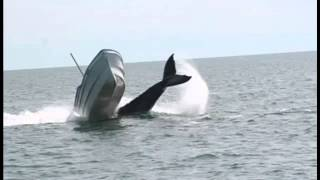 The incredible moment a humpback whale t...