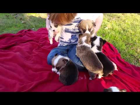 4 week old corgi puppies first time outside