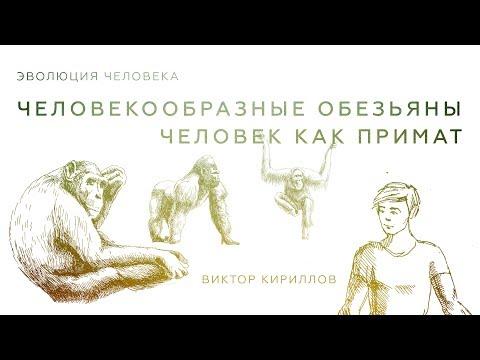 Человекообразные обезьяны. Человек как примат. Происхождение человека 3