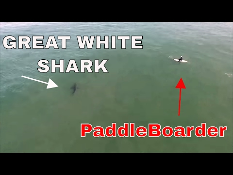 OC Sheriff's Helicopter warns Paddle boarders of 15 great white sharks HD