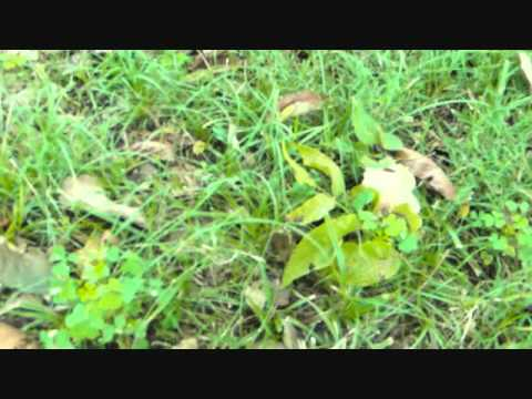 Edible Wild Plants Nw Missouri Youtube