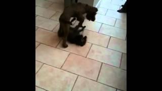 Irish Terrier & Border Terrier