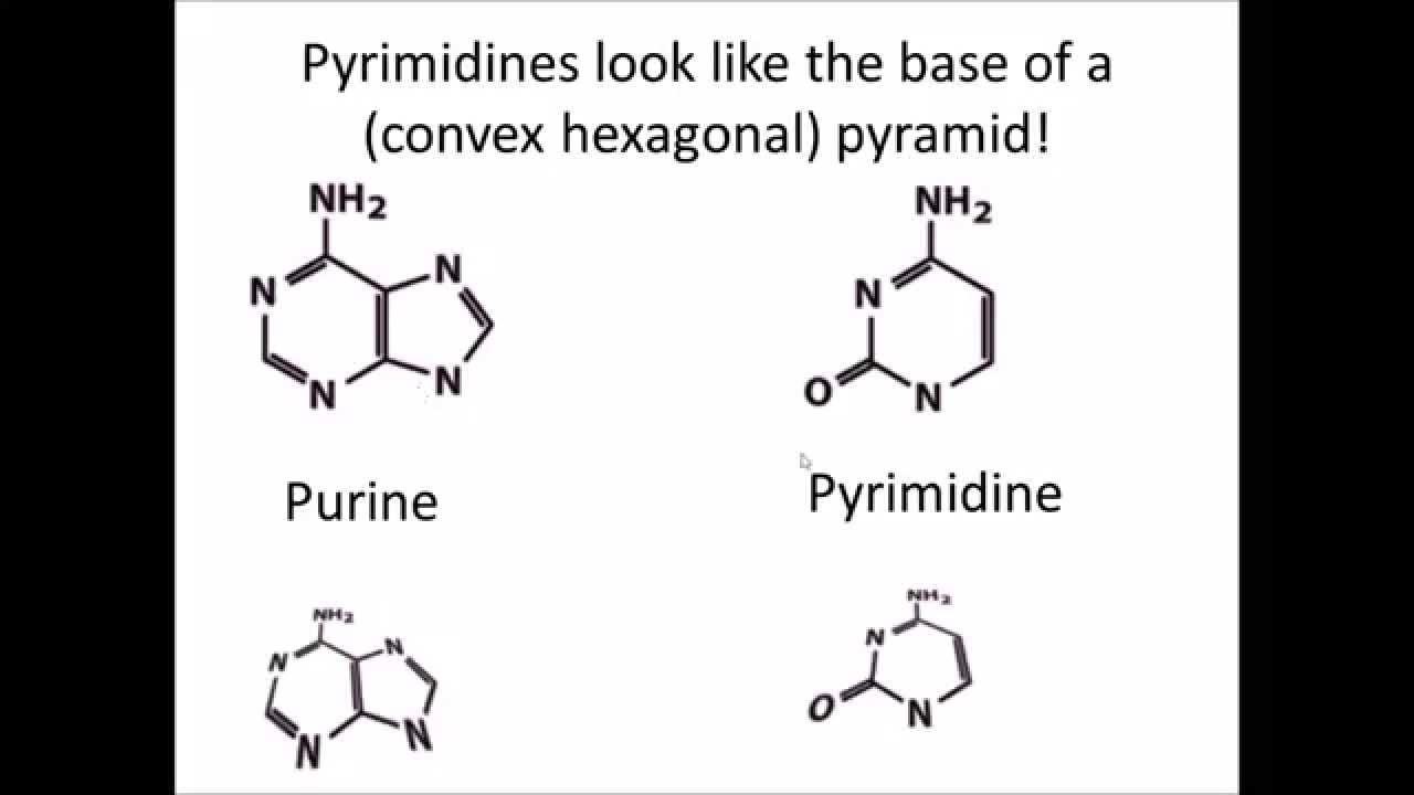 medium resolution of diagram of nucleoside