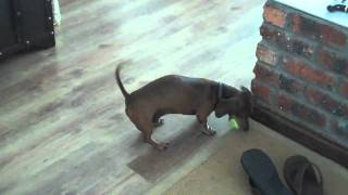 Frankie, The Blind Dachshund