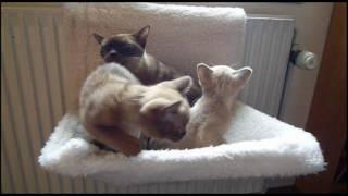Burmese Kittens  11 Weeks