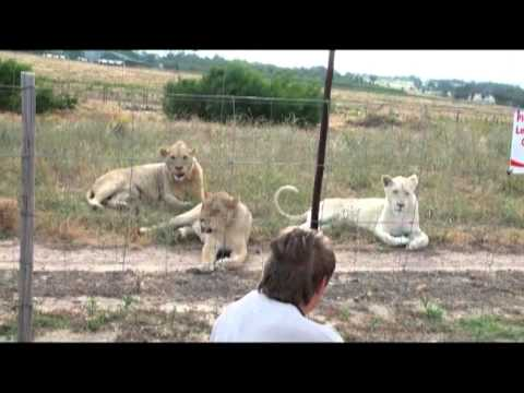 Animal Communication And Healing With Lions