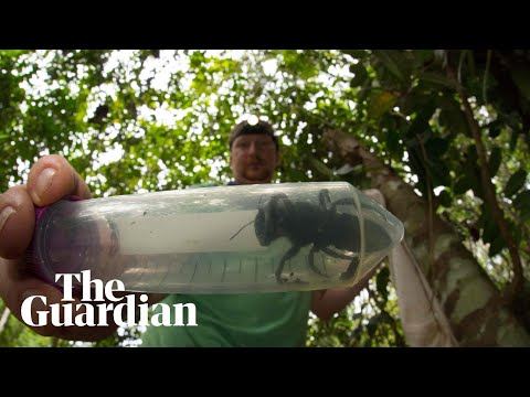 Curtis - Largest Bee In The World Found In Indonesia
