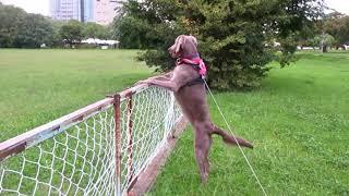 フェンスの中に入りたいワイチャン.