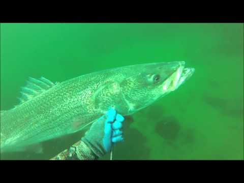 8-2-2015 -  Spearfishing Striped Bass - Rhode Island