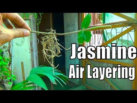 Jasmine Plant Air