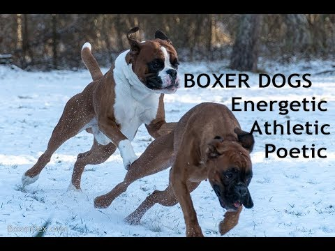 BOXER DOGS - Energetic Athletic Poetic
