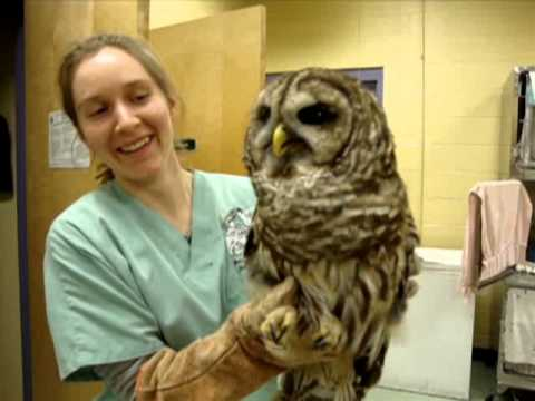 barred owl eats a mouse yum   exotic pet vet uncut
