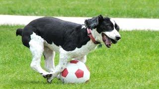 Собаки, играющие в футбол -Сборник!