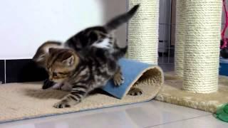 Котята играют! Не мешай!