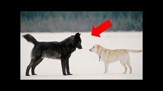 Isso é o que acontece quando um lobo selvagem se aproxima de um cão de estimação!!