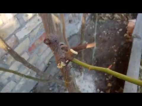 Весенняя обрезка плетистой  розы  Pierre De Ronsard (Eden Rose)