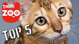 Die 5 teuersten Katzen der Welt (mit TopZehn)