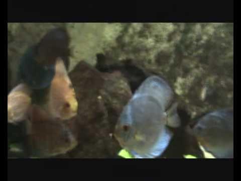 Poissons tropicaux d 39 eau douce youtube for Poisson tropicaux eau douce