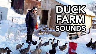 Morning Chores on the Farm | Duck and Goose Farm | ASMR