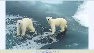 видео белый медведь сонник