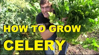 How to Grow Celery - Complete Growing Guide