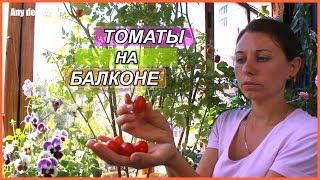видео Технология выращивание помидор на балконе