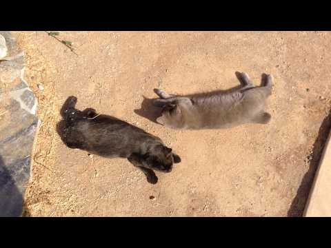 Young Manx Cats playing