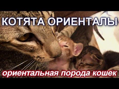 Котята ориентальной породы The Oriental Shorthair is a breed of domestic cat