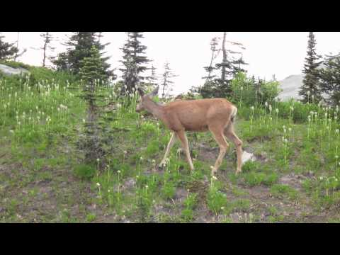 Deer at Lyman Lake