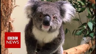 Meet Europe's new koala clan - BBC News