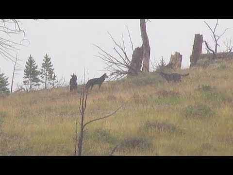 Hiking Bighorn Pass - Grizzly bear on a carcass and a wolf pack
