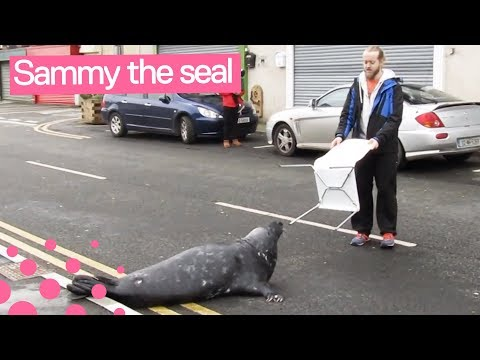 Sammy The Seal Begs For Fish In Wicklow Town, Ireland