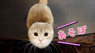 一緒に遊びたそうに見つめる短足猫が可愛すぎた