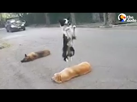 Smart Dog Hops Right Over His Friends