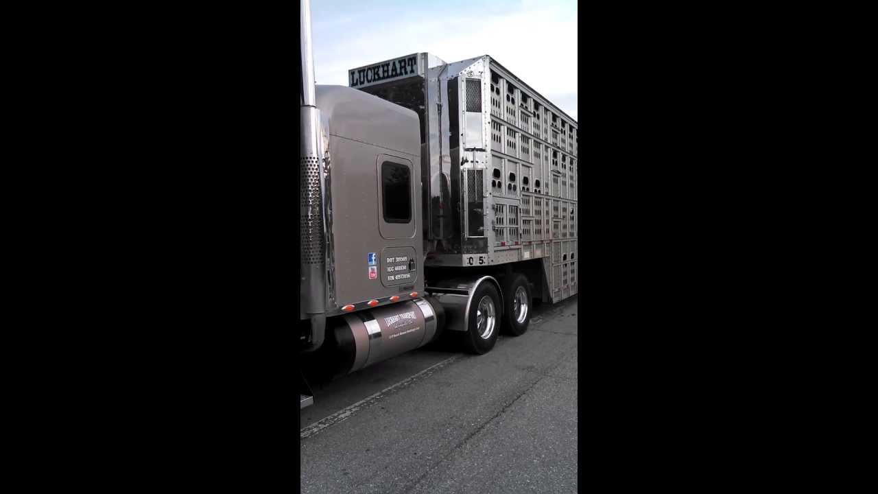 Back to my roots.....hauling livestock