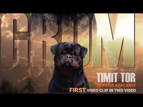 showline-champion-line-rottweiler-puppies.-the-best-rottweiler-pups.-kci-registered-import-line-rott