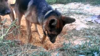 Собаки роют клад